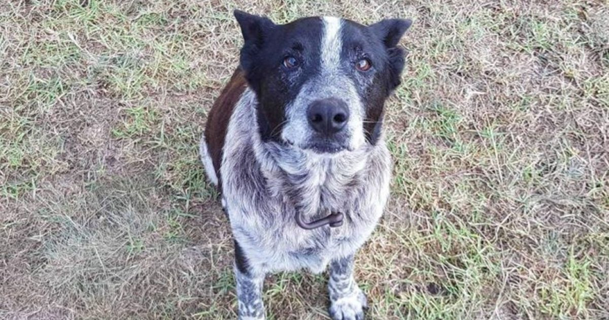 Deaf & Partially blind Dog Stays With Lost 3-Year-Old Girl Overnight, Leads Rescuers To Her